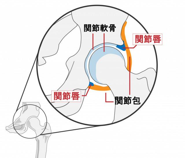 股関節の仕組み